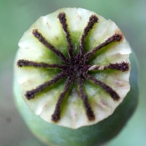 Photographie n°760464 du taxon Papaver somniferum subsp. somniferum