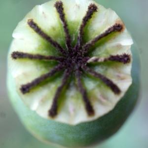 Photographie n°760465 du taxon Papaver somniferum subsp. somniferum