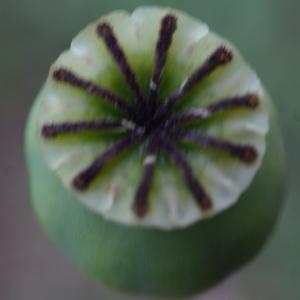 Photographie n°760469 du taxon Papaver somniferum subsp. somniferum