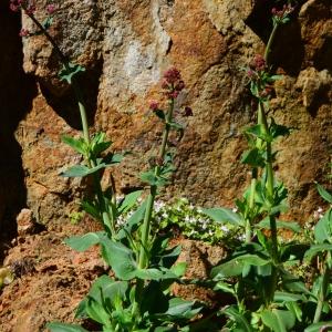 Photographie n°760516 du taxon Centranthus ruber (L.) DC. [1805]