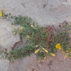 Photographie n°761339 du taxon Ononis variegata L.