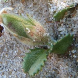 Photographie n°761341 du taxon Ononis variegata L.