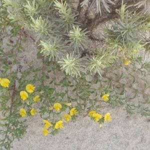 Photographie n°761343 du taxon Ononis variegata L.
