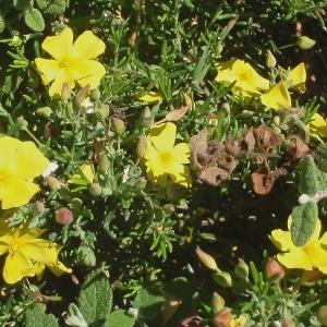 Photographie n°761478 du taxon Cistus calycinus L. [1771]