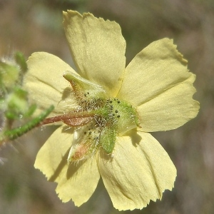 Tuberaria guttata (L.) Fourr. (Hélianthème taché)