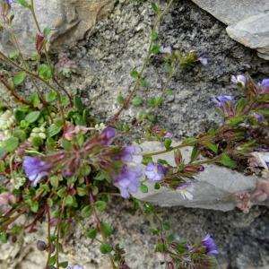 Photographie n°761572 du taxon Chaenorhinum rubrifolium (Robill. & Castagne ex DC.) Fourr. [1869]