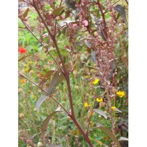 Atriplex hortensis L. (Arroche des jardins)