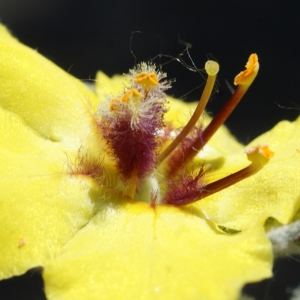 Photographie n°761763 du taxon Verbascum boerhavii L. [1767]