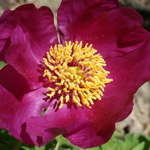 Paeonia officinalis L. [1753] (Pivoine officinale)