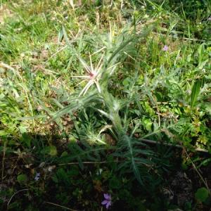 Photographie n°764247 du taxon Centaurea calcitrapa L. [1753]