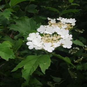 Photographie n°764274 du taxon Viburnum opulus L. [1753]