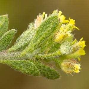 Alyssum simplex Rudolphi (Alysson champêtre)