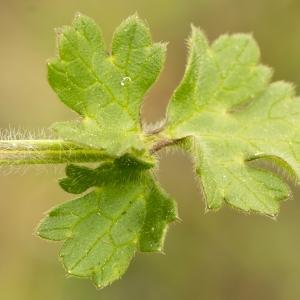 Photographie n°764691 du taxon Ranunculus bulbosus L. [1753]