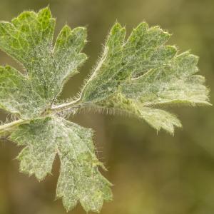 Photographie n°764695 du taxon Ranunculus bulbosus L. [1753]