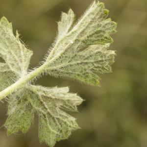Photographie n°764696 du taxon Ranunculus bulbosus L. [1753]