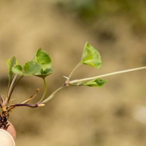 Photographie n°764706 du taxon Viola riviniana Rchb.