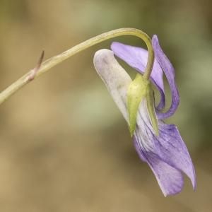 Photographie n°764707 du taxon Viola riviniana Rchb.