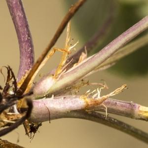 Photographie n°764708 du taxon Viola riviniana Rchb.