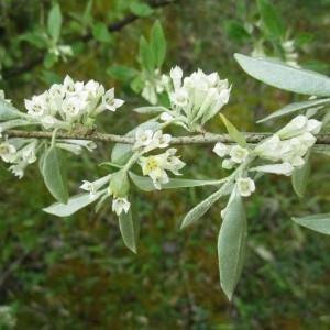 Elaeagnus umbellata Thunb. (Oléastre à ombelles)