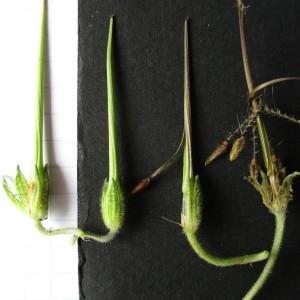 Photographie n°764892 du taxon Erodium moschatum (L.) L'Hér. [1789]