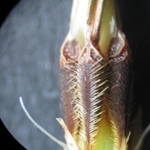 Photographie n°764893 du taxon Erodium moschatum (L.) L'Hér. [1789]