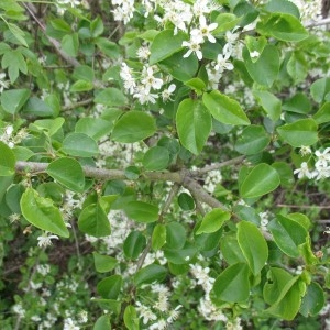 Photographie n°764982 du taxon Prunus mahaleb L.