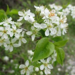 Photographie n°764983 du taxon Prunus mahaleb L.