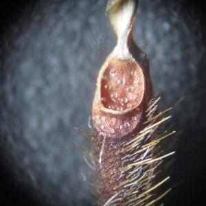 - Erodium moschatum (L.) L'Hér. [1789]