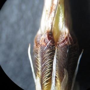 Photographie n°765017 du taxon Erodium moschatum (L.) L'Hér. [1789]