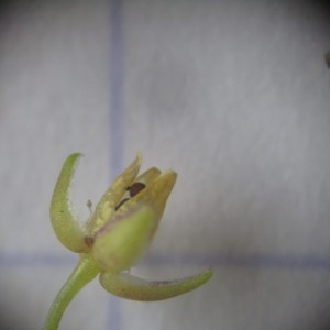 - Sagina apetala subsp. erecta F.Herm.