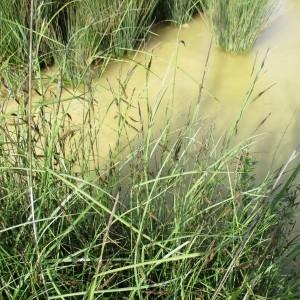 Photographie n°765046 du taxon Carex glauca Scop. [1772]