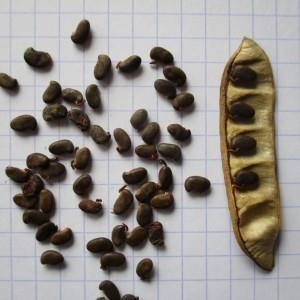 Photographie n°765069 du taxon Robinia pseudoacacia L.