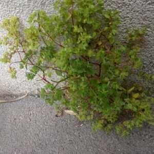 Photographie n°765212 du taxon Euphorbia peplus L. [1753]