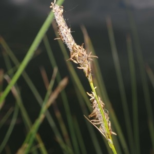 Photographie n°765543 du taxon Carex hirta L. [1753]