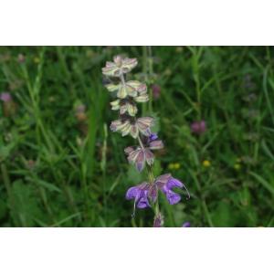 Salvia verbenaca L. subsp. verbenaca (Sauge à feuilles de verveine)