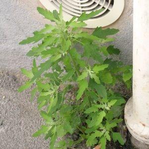 Photographie n°765876 du taxon Chenopodium ficifolium Sm.