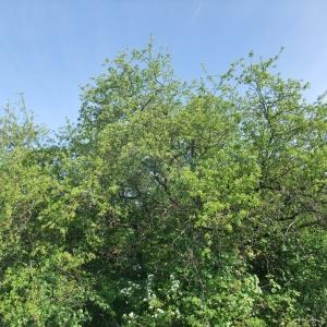 Photographie n°766304 du taxon Prunus mahaleb L.