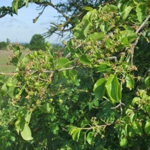 Photographie n°766305 du taxon Prunus mahaleb L.