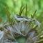 Yoan Martin - Doronicum pardalianches L.