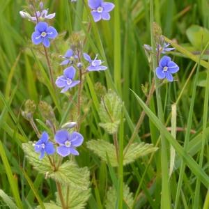 Photographie n°766615 du taxon Veronica chamaedrys L. [1753]