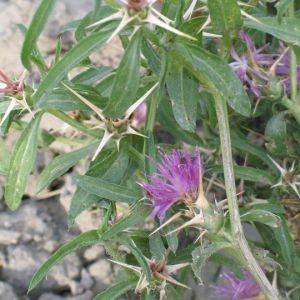 Photographie n°766863 du taxon Centaurea calcitrapa L. [1753]