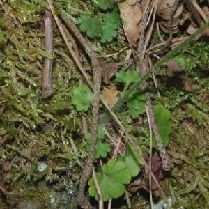 Photographie n°766951 du taxon Saxifraga granulata L.