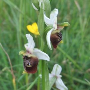 Photographie n°767067 du taxon Ophrys fuciflora (F.W.Schmidt) Moench [1802]