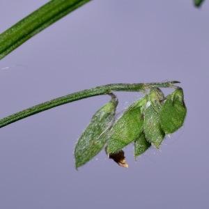 Photographie n°767161 du taxon Vicia hirsuta (L.) Gray [1821]