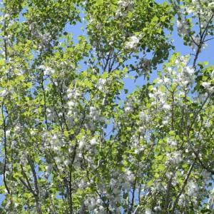 Photographie n°767917 du taxon Populus nigra L.