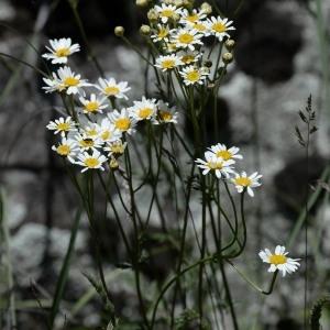 Photographie n°767919 du taxon Tanacetum corymbosum (L.) Sch.Bip. [1844]