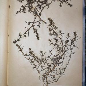 Photographie n°767956 du taxon Salsola kali L. [1753]