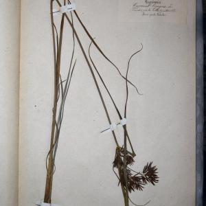 Photographie n°767966 du taxon Cyperus longus L. [1753]