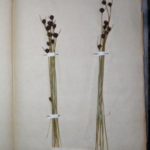 Photographie n°767972 du taxon Schoenus nigricans L. [1753]