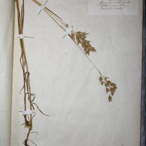 Photographie n°768007 du taxon Bromus secalinus L. [1753]